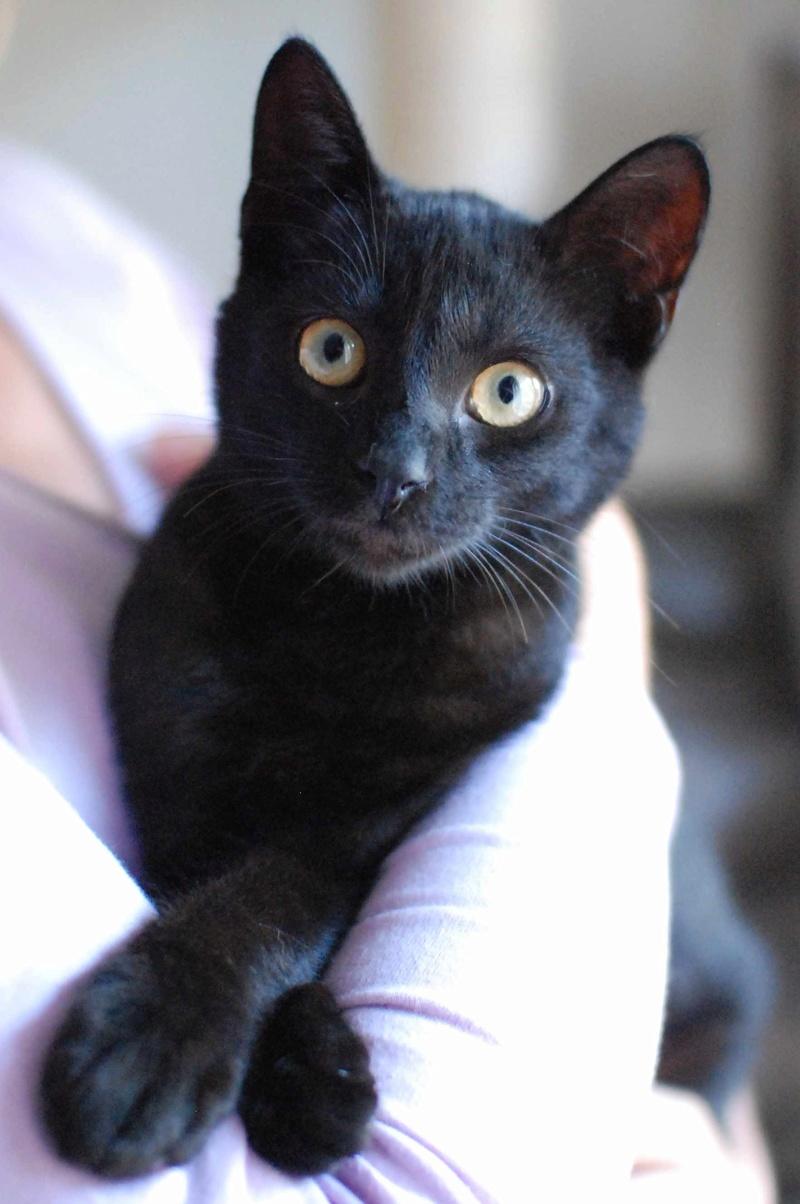 mambo - MAMBO, chaton européen noir, né mai 2016 Mambo_12