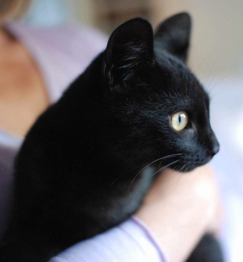mambo - MAMBO, chaton européen noir, né mai 2016 Mambo_14