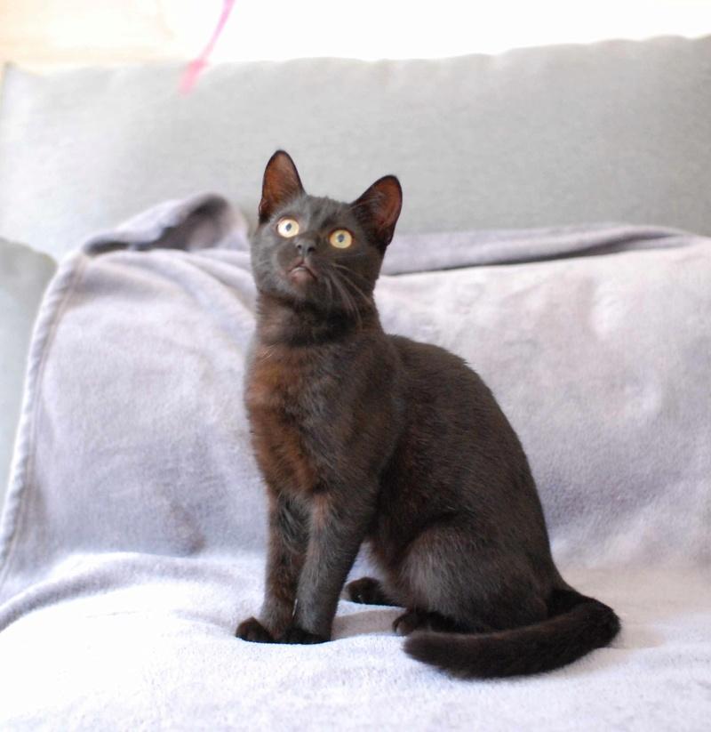 mambo - MAMBO, chaton européen noir, né mai 2016 Mambo_16
