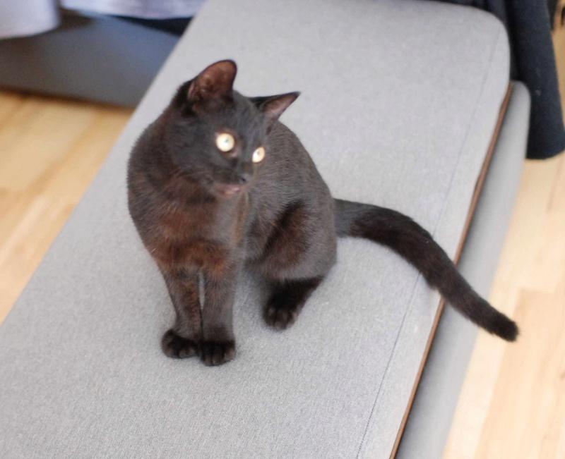 mambo - MAMBO, chaton européen noir, né mai 2016 Mambo_17