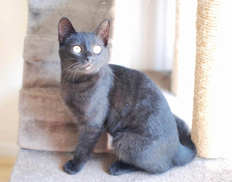 mambo - MAMBO, chaton européen noir, né mai 2016 Mambo_18