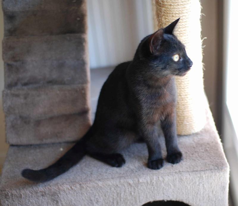 mambo - MAMBO, chaton européen noir, né mai 2016 Mambo_20