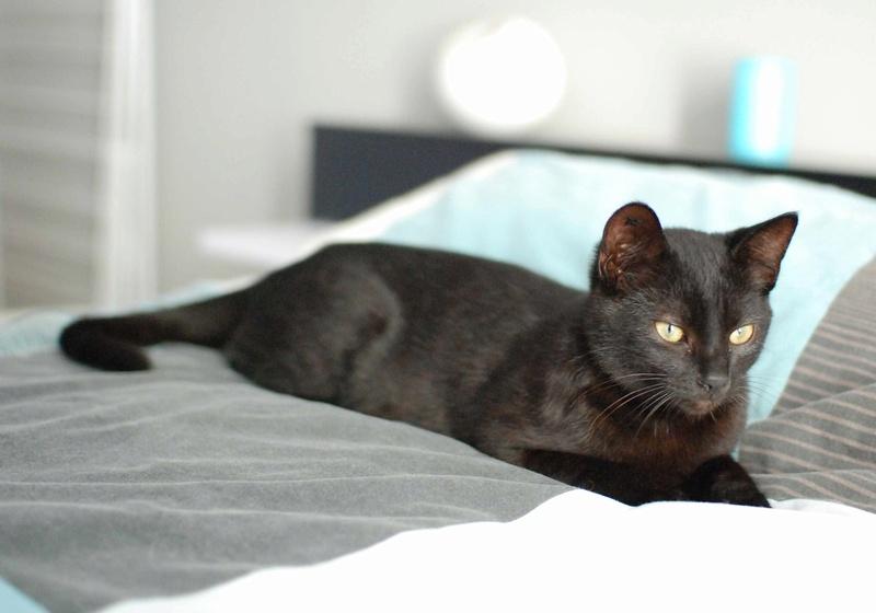 mambo - MAMBO, chaton européen noir, né mai 2016 Mambo_22