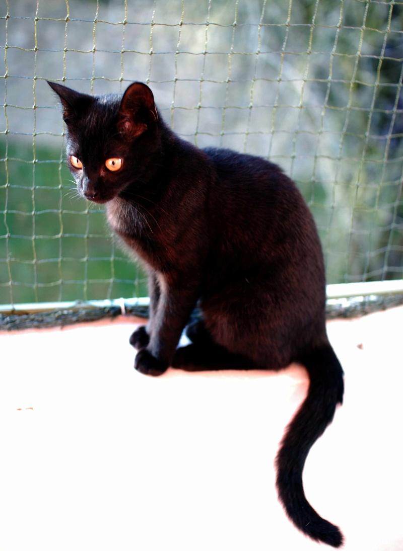 mambo - MAMBO, chaton européen noir, né mai 2016 Mambo_24