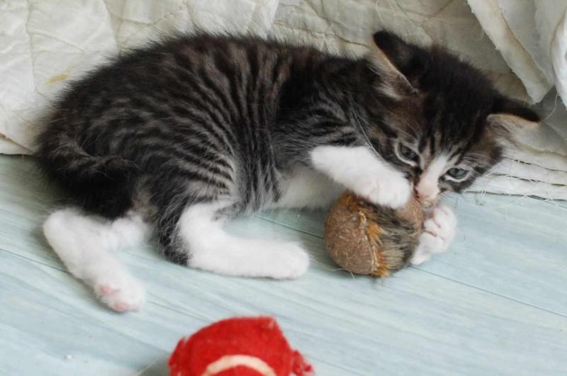 marley - MARLEY, chaton européen tigré&blanc, né le 15/04/16 Marley11