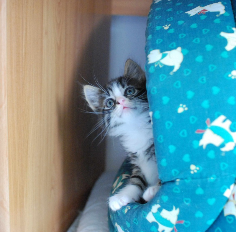 marley - MARLEY, chaton européen tigré&blanc, né le 15/04/16 Marley13