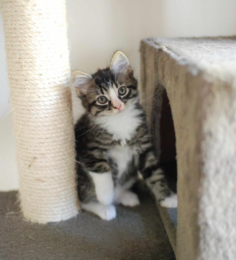 marley - MARLEY, chaton européen tigré&blanc, né le 15/04/16 Marley16