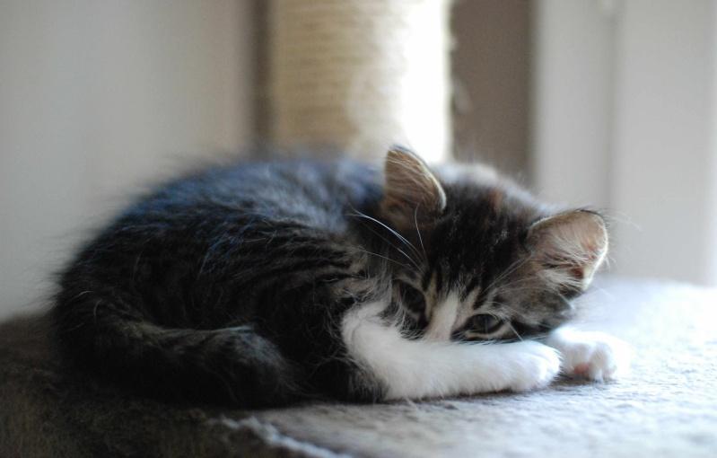 marley - MARLEY, chaton européen tigré&blanc, né le 15/04/16 Marley20
