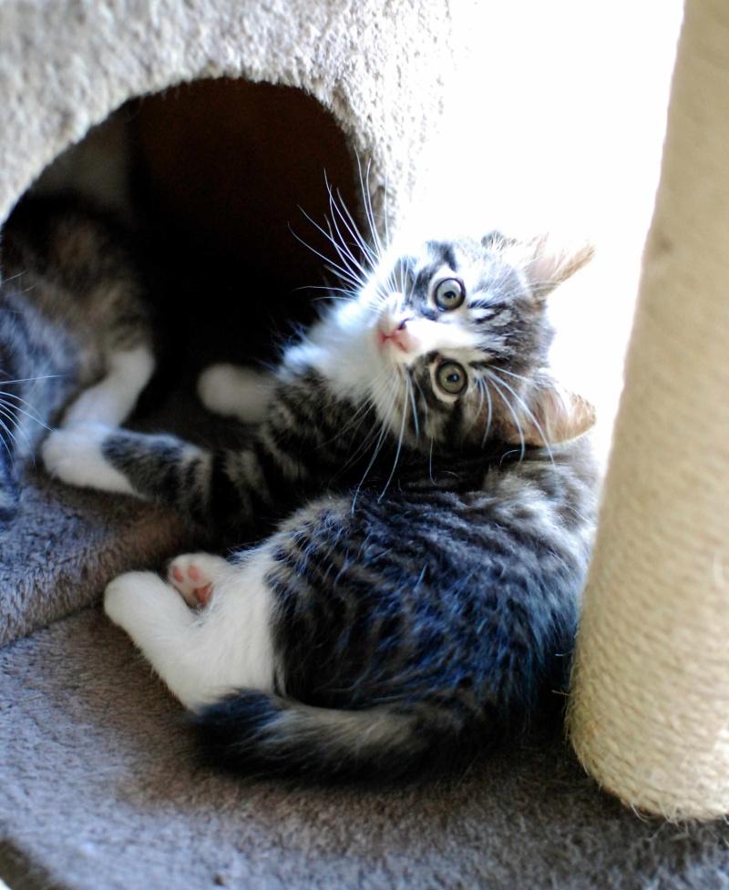 marley - MARLEY, chaton européen tigré&blanc, né le 15/04/16 Marley21