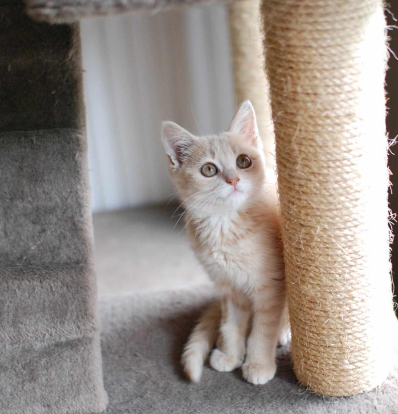 MIA, chatonne couleur beige, née le 9/03/2016 Mia_110