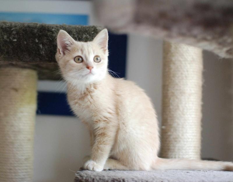 MIA, chatonne couleur beige, née le 9/03/2016 Mia_510