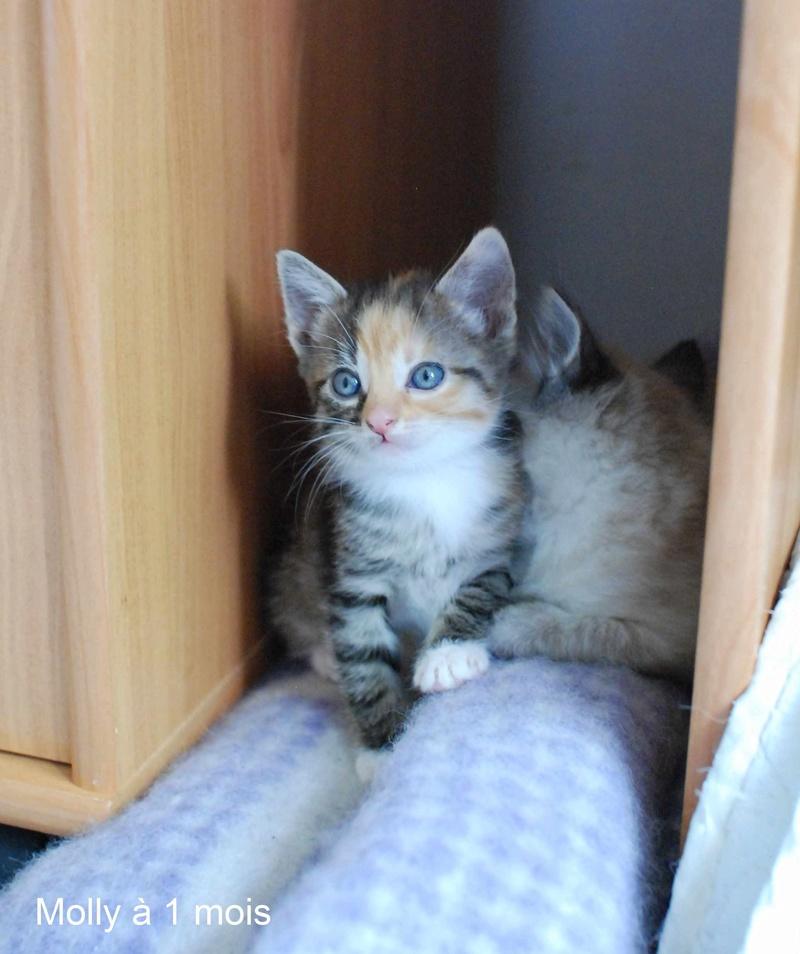 MOLLY, chatonne européenne tricolore, née le 15/04/16 Molly_12