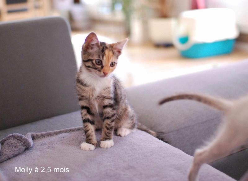 MOLLY, chatonne européenne tricolore, née le 15/04/16 Molly_14