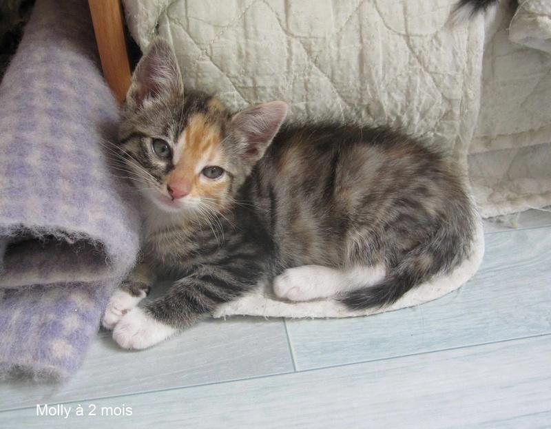 MOLLY, chatonne européenne tricolore, née le 15/04/16 Molly_15