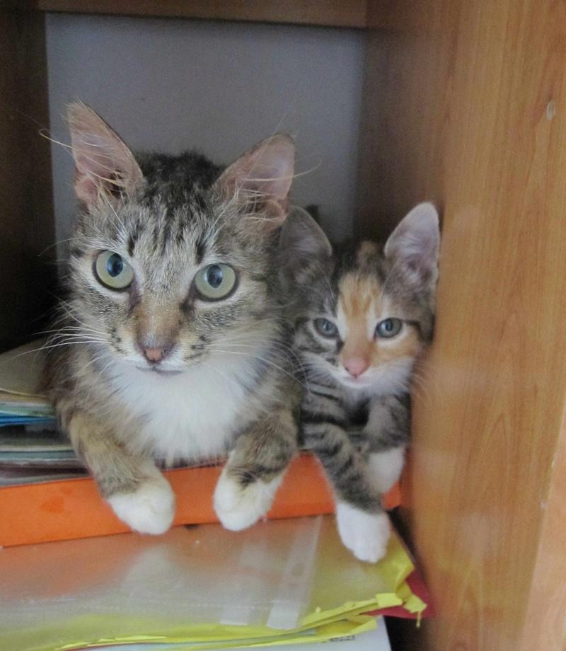 MOLLY, chatonne européenne tricolore, née le 15/04/16 Molly_16