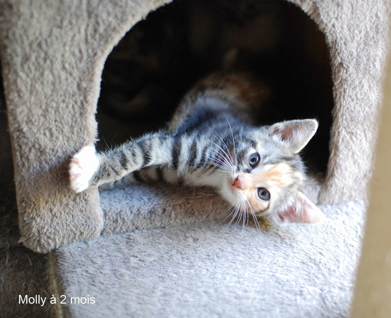 MOLLY, chatonne européenne tricolore, née le 15/04/16 Molly_19