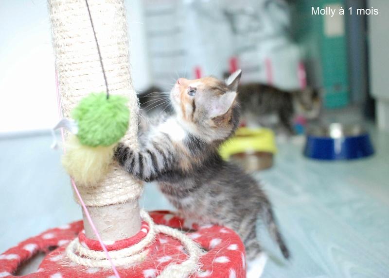 MOLLY, chatonne européenne tricolore, née le 15/04/16 Molly_20