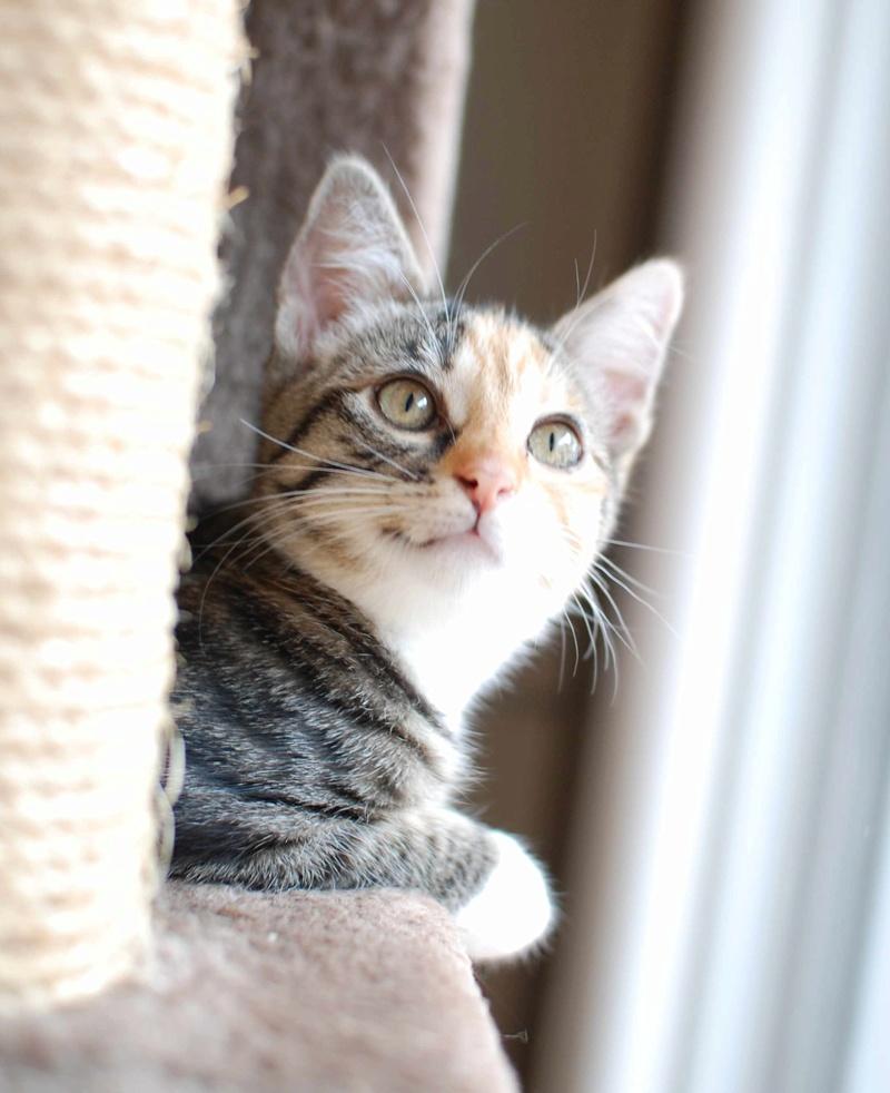 MOLLY, chatonne européenne tricolore, née le 15/04/16 Molly_25