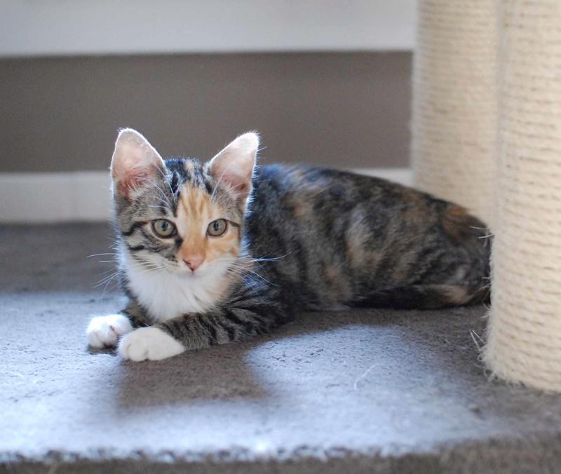 MOLLY, chatonne européenne tricolore, née le 15/04/16 Molly_26