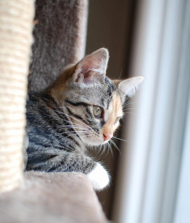 MOLLY, chatonne européenne tricolore, née le 15/04/16 Molly_27
