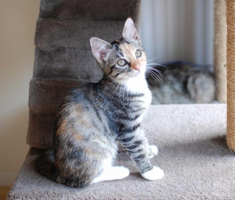 MOLLY, chatonne européenne tricolore, née le 15/04/16 Molly_28