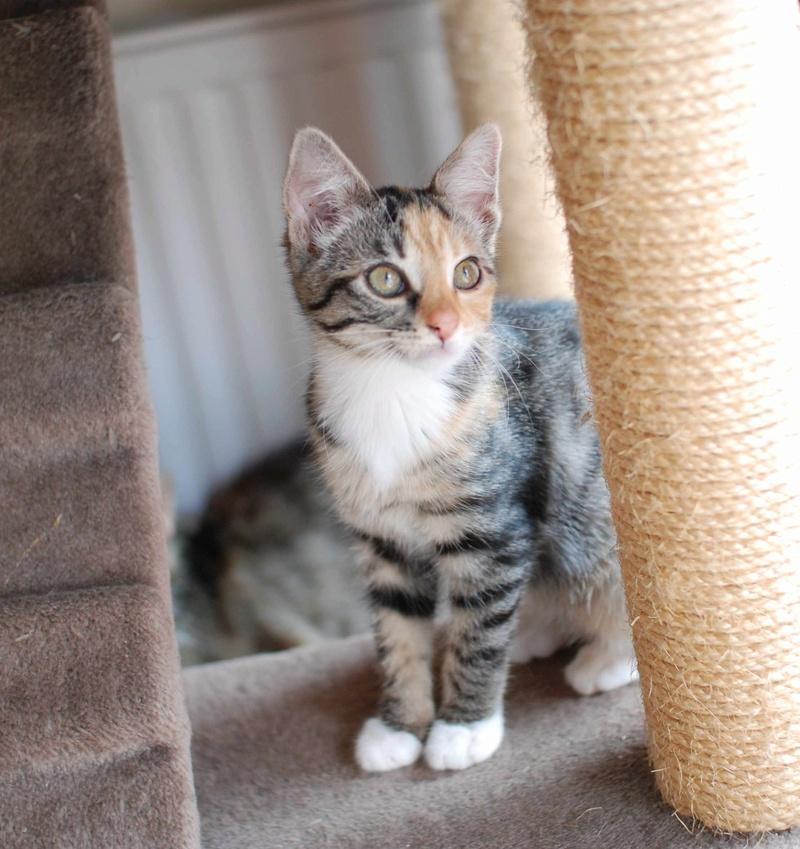 MOLLY, chatonne européenne tricolore, née le 15/04/16 Molly_29