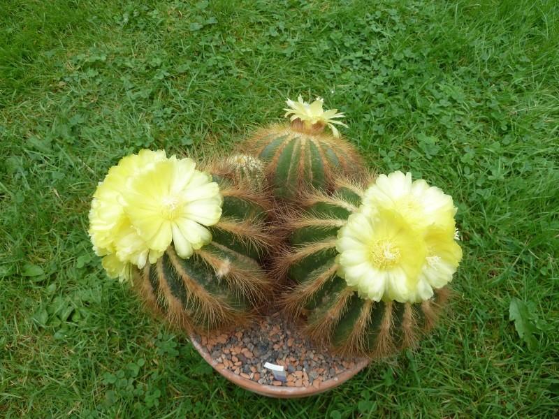 Notocactus warasii Noto_w12