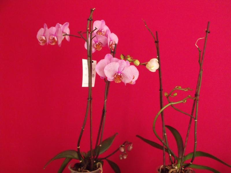 phalaenopsis Phalae10