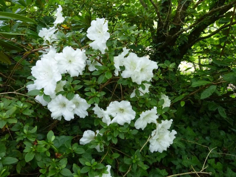 petits bouquets de juillet Azalea10