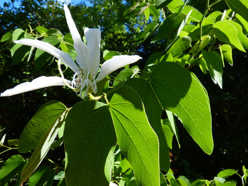 Bauhinia grandiflora - Page 2 Bauhin16