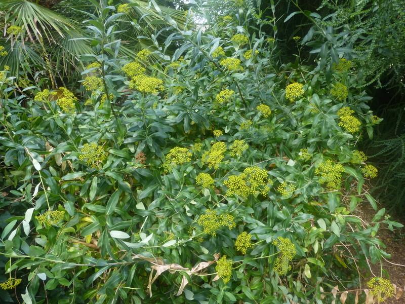 Bupleurum fruticosum - buplèvre arbustif Bupleu10