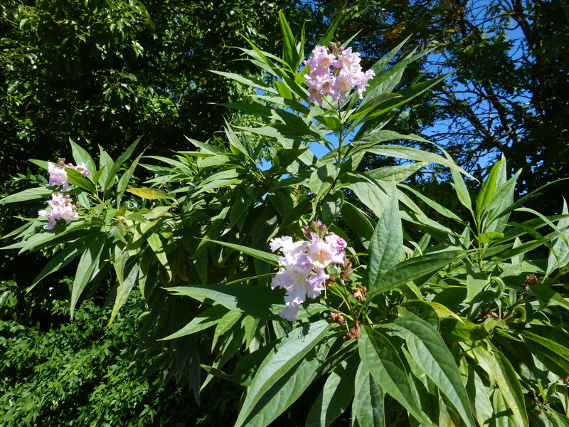 Chitalpa taschkentensis Chital13