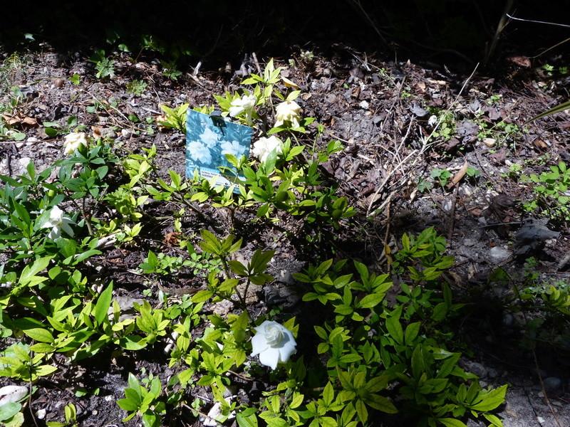 Plantes parfumées 2016 - Page 2 Garden11