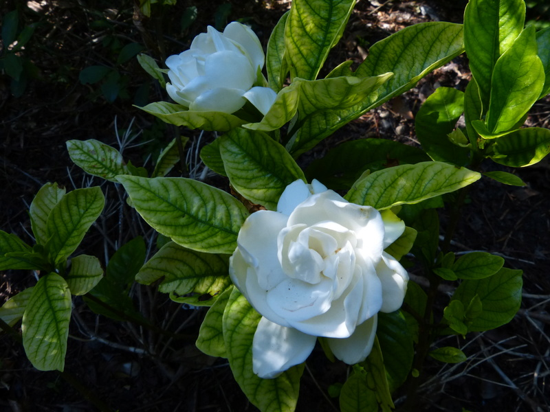 Plantes parfumées 2016 - Page 2 Garden13