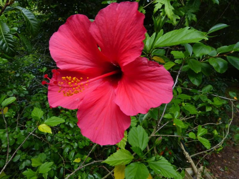 petits bouquets de juillet - Page 3 Hibisc10