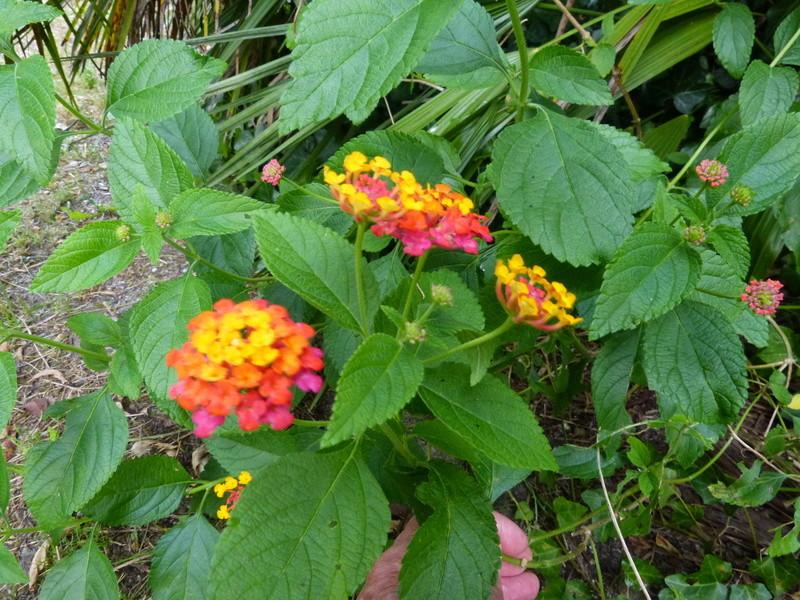petits bouquets de juillet - Page 3 Lantan10