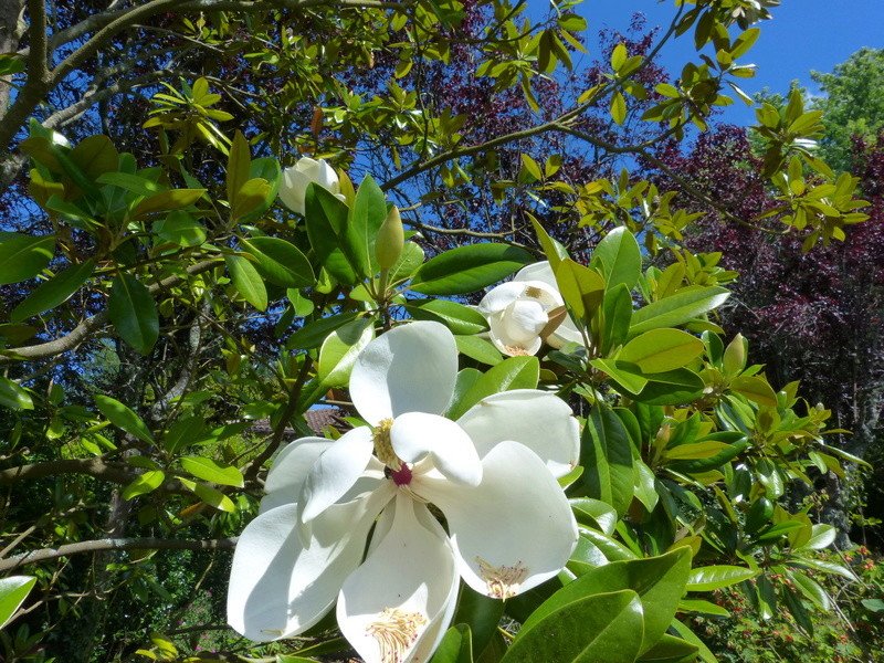 Magnolia grandiflora - Page 2 Magnol17