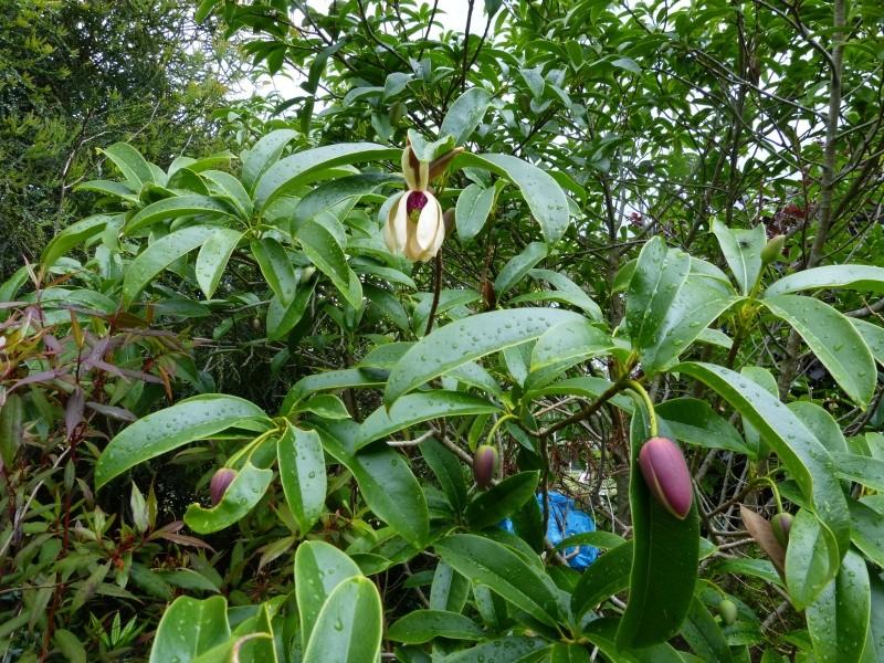 Magnolia conifera var. chingii (= Manglietia chingii) Mangli12