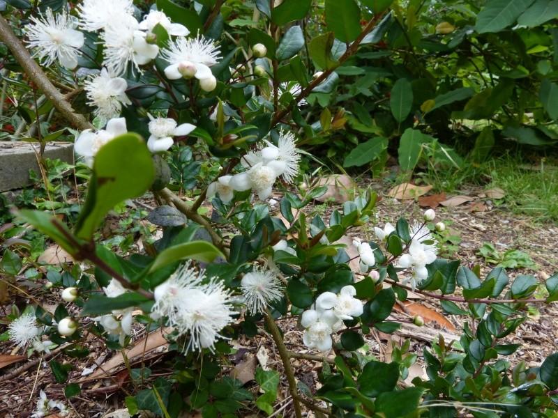Plantes parfumées 2016 - Page 2 Myrtus10