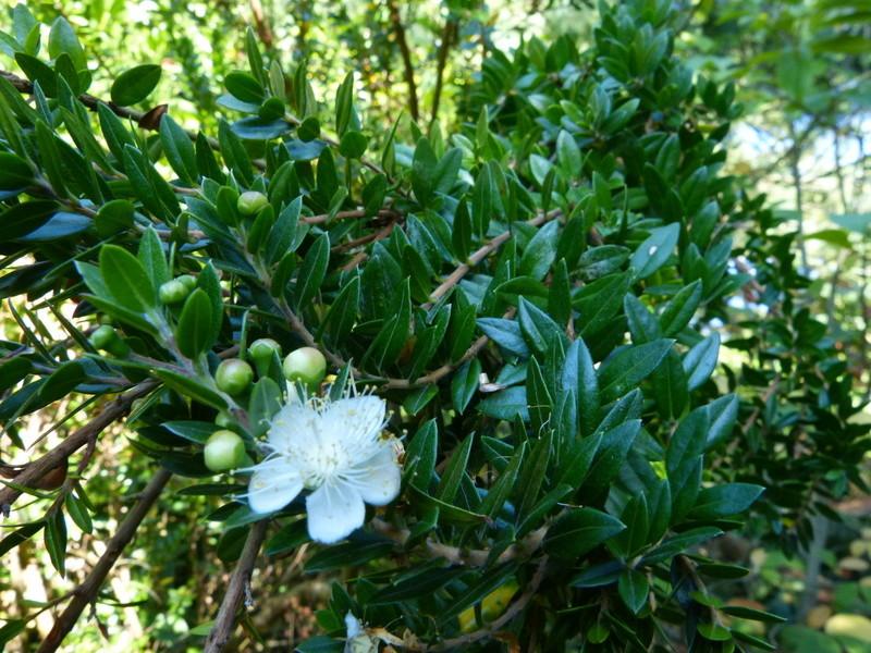 Plantes parfumées 2016 - Page 2 Myrtus12