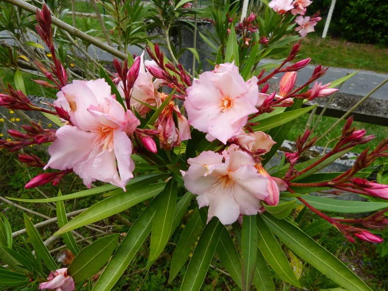 petits bouquets de juillet - Page 2 Nerium10