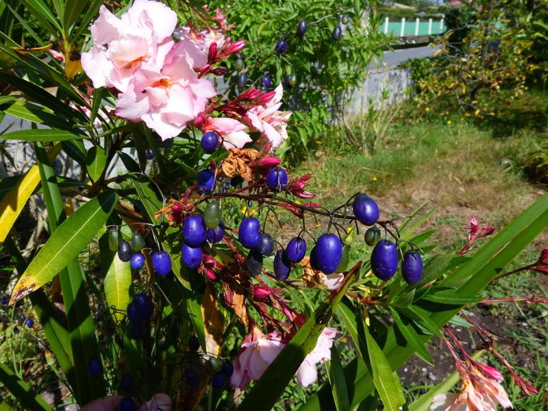 petits bouquets de juillet - Page 3 Nerium13