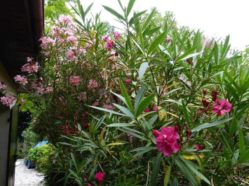 petits bouquets de juillet - Page 3 Nerium15