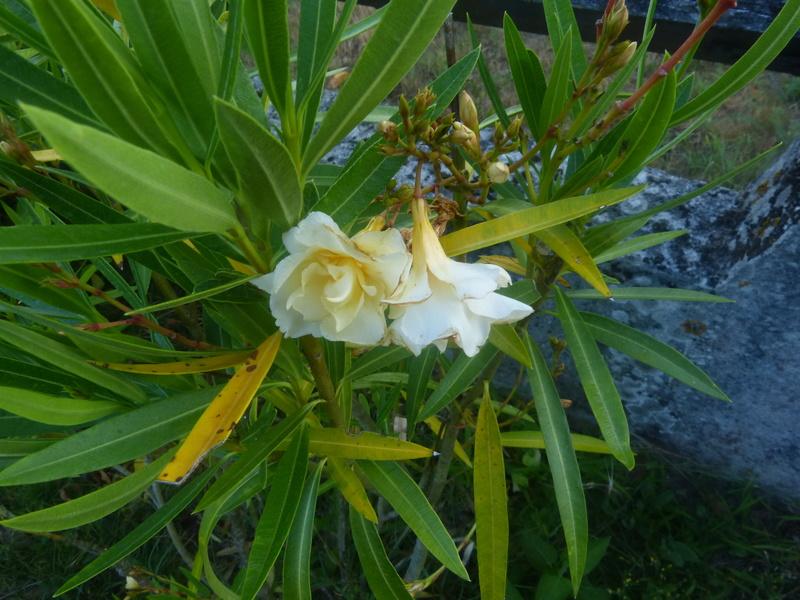 petits bouquets de juillet - Page 3 Nerium16