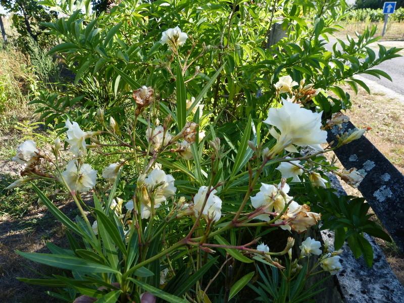 Plantes parfumées 2016 - Page 2 Nerium20