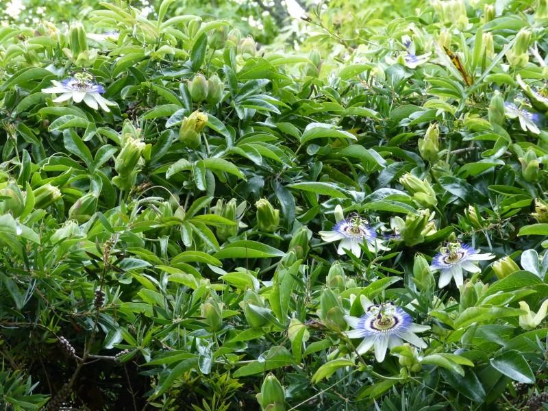 Passiflora caerulea - Page 2 Passif12