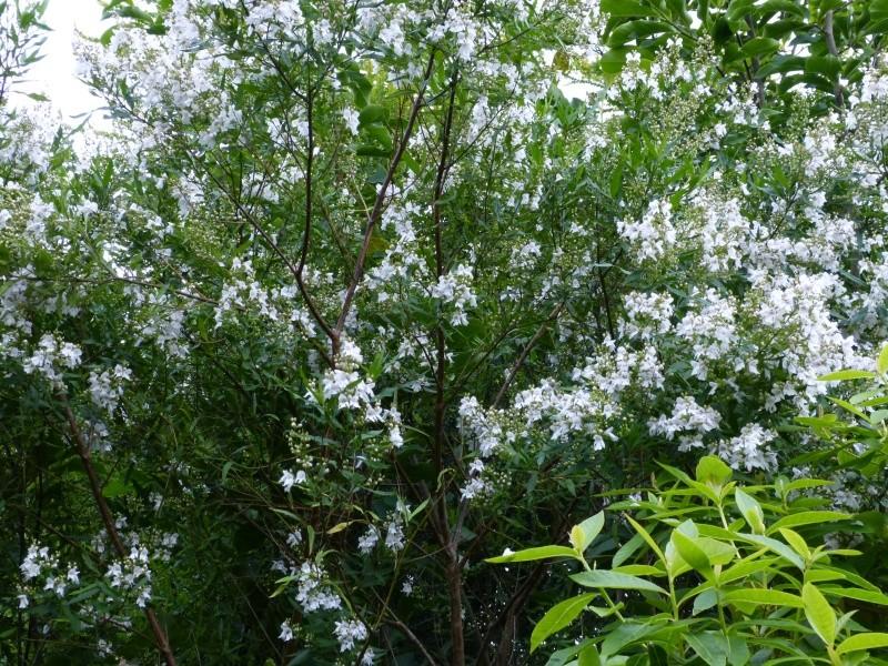 Plantes parfumées 2016 - Page 2 Prosta10