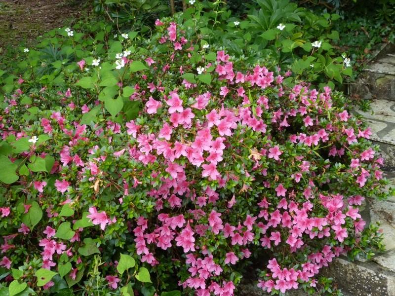 petits bouquets de juillet Rhodod17