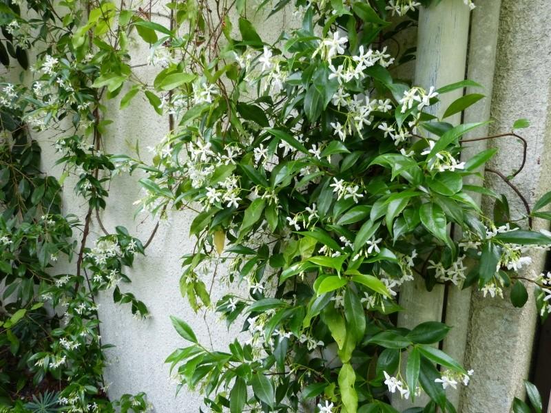 Plantes parfumées 2016 Trache10