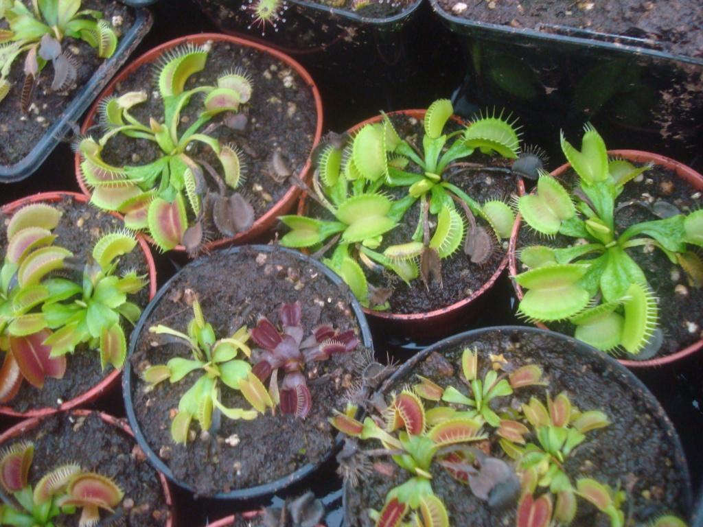 Suivi semis et germination Dionaea [Ted82] - Page 12 Dsc03255